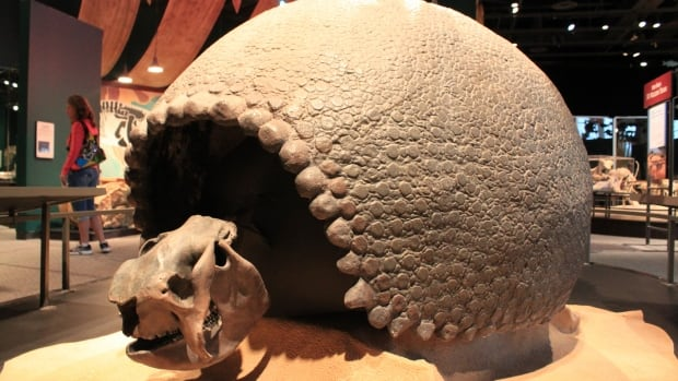 Glyptodonts, like this fossil at the Minnesota Science Museum, have shells that are fused together in a rigid dome.