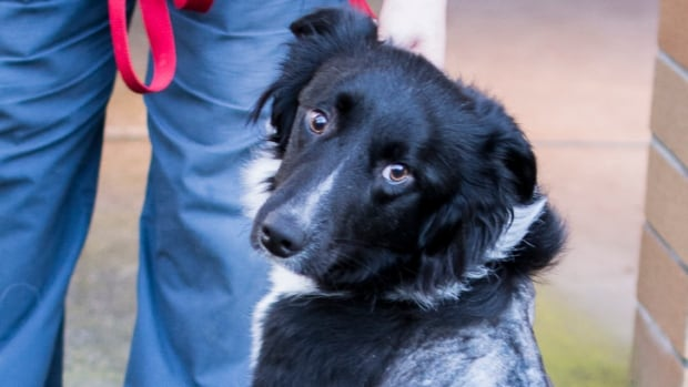 Nicknamed Louis, by the SPCA officers who found him, this emaciated border collie was found at a pet food store.