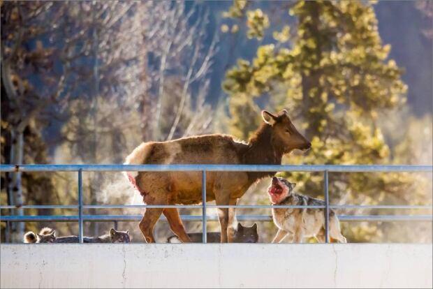 banff wolf elk 3