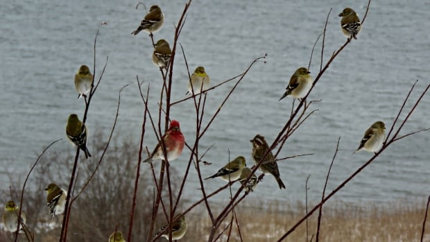 Finches gather in Dundee, Cape Breton. It feels almost tropical in some parts of Nova Scotia.