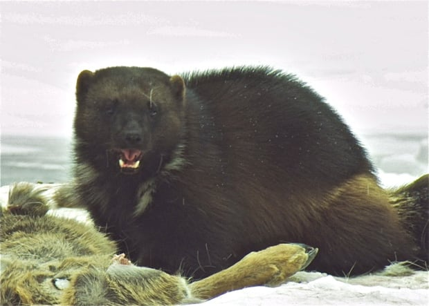 Wolverine at carcass