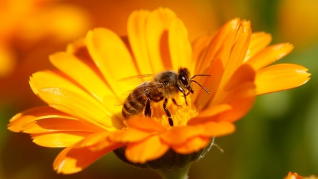 The University of Manitoba bee home competition runs March 31 to April 20.