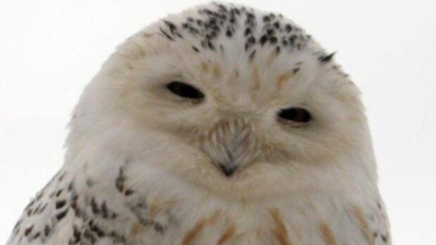 Tanya Howatt got up close to this snowy owl in Borden-Carleton, P.E.I.