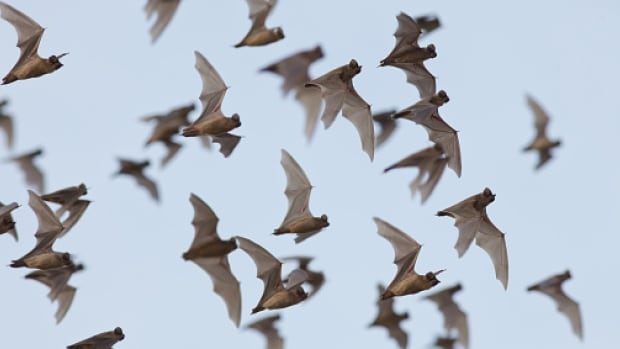 Brown bat populations in eastern North America have been decimated by a fungal disease, white nose syndrome.
