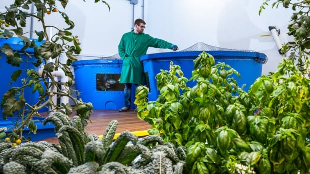 A Green Relief worker tends to an aquaponic crop of kale and Swiss chard. The company has just been licensed to apply that technology to medical marijuana in Flamborough.