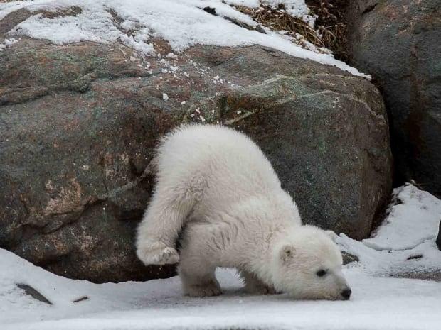 Toronto Zoo polar bear cub Juno fall
