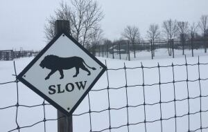 Papanack Zoo lion sign slow winter snow lion killed shot Feb 29 2016