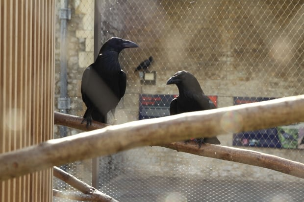 Two ravens at Tower of London