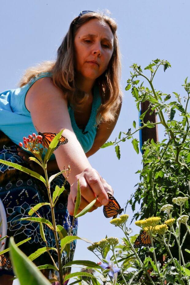 California Drought Monarch Butterflies