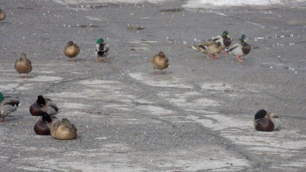 The ducks stay in the parking lot because people keep feeding them, says mall manager Linda Birch.