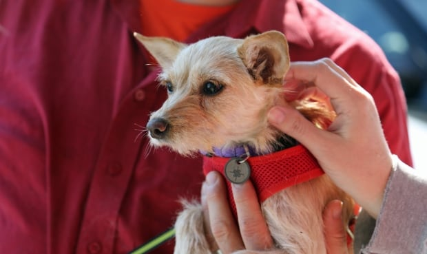 Chihuahua rescue