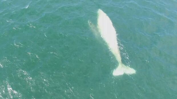 Gallon of Milk is seen from the air swimming in Mexican waters with her calf. DFO researcher John Ford expects Gallon of Milk to swim through B.C. waters in May.