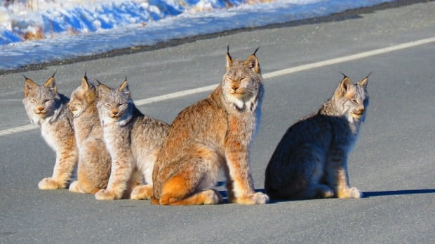 Stan and Melody McKenzie captured this image of a lynx family when they were driving the Haines Road on Monday.