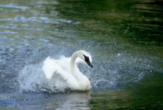 Trumpeter Swan in Alberta