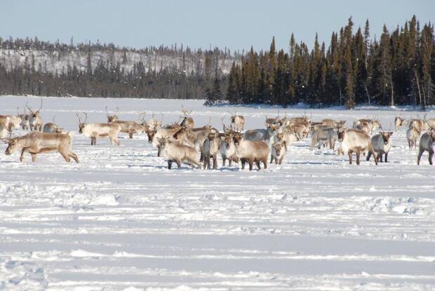 Bathurst caribou