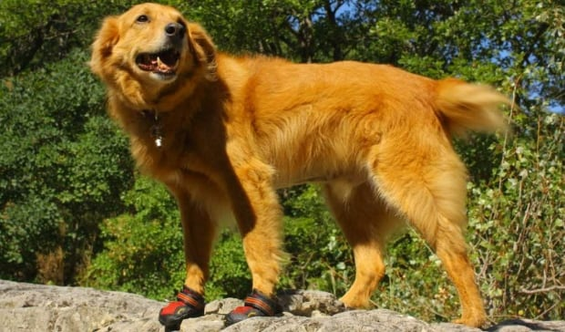Doggie hiking boots