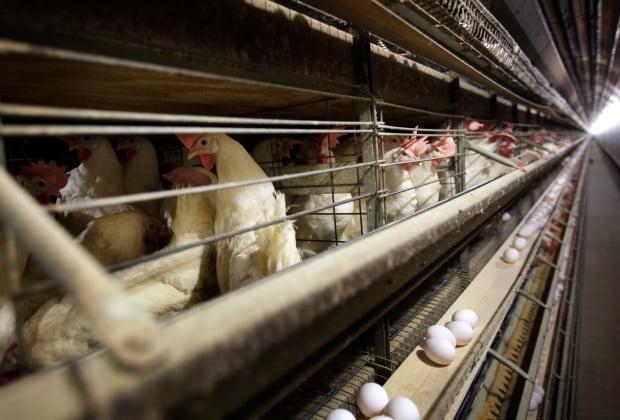 Farm Scene Pitiful Poultry