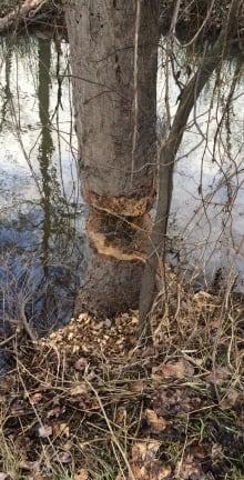 tree chewed coldstream beaver