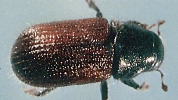 A huge spike in the population of the native B.C. spruce beetle is causing concern in the Omineca region of the province.