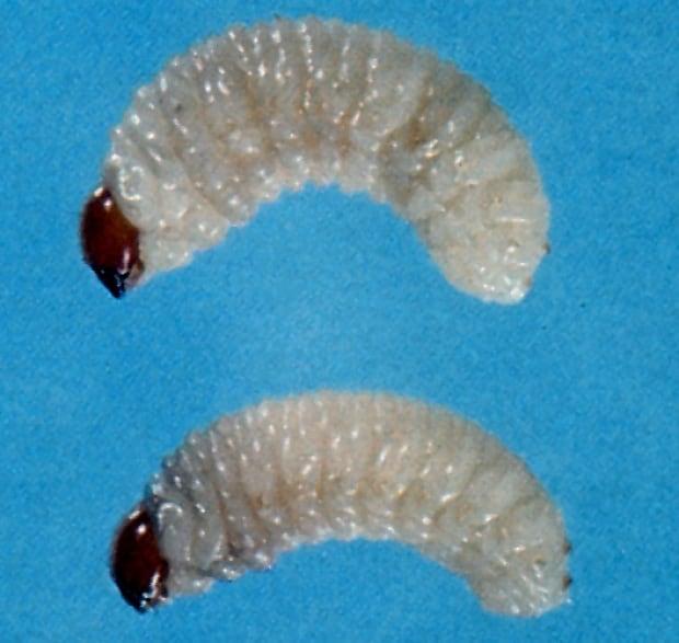 bc spruce beetle larvae