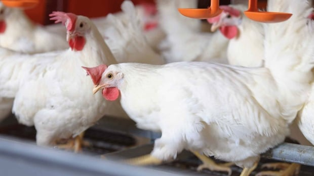 Current A&W can find hens in enriched housing, which allows more movement and natural behaviours, but is not antibiotic-free. It plans a move to cage-free housing in two years, which means a rapid change for farmers.