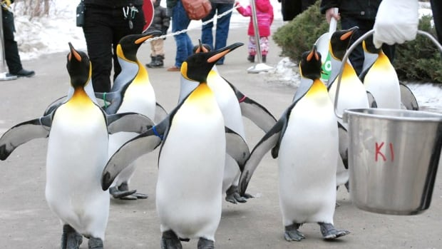 It's too warm to continue the penguin walk this season, the Calgary Zoo says