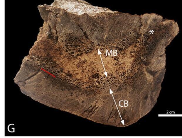 t. rex bone