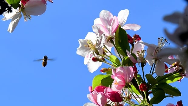 A bee buzzes around a flowering Crab Apple Tree.