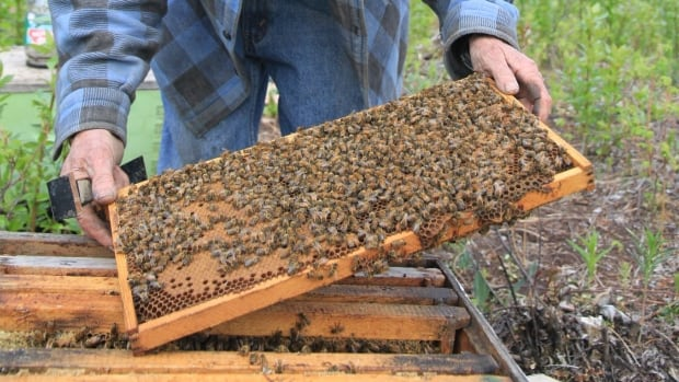 The Downtown Urban Gardeners Association hopes to add two hives to its community garden in Whitehorse, each with up to 20,000 bees.