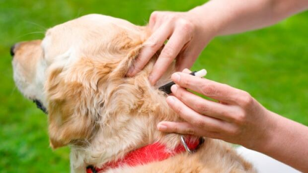 Removing a tick on a dog can be done with a little plastic instrument supplied by veterinarians.