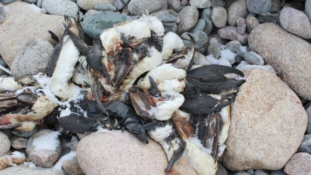 One of the piles of dead seabirds that were dumped on a beach near Upper Gullies, Conception Bay South.