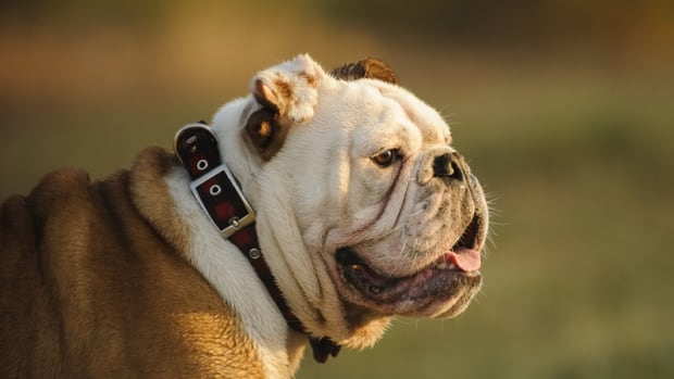 Chase RCMP are investigating after a dog — which appears to be a male bulldog or bulldog cross — had been shot in the head.