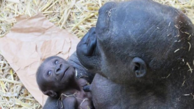 Zoo staff briefly took over care of Kioja's 13-day-old baby on the weekend over concerns that it was not developing as quickly as it should.