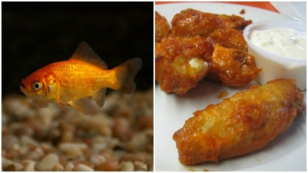 Goldfish look like chicken wings