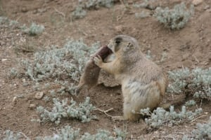 Cute, grass-eating prairie dogs are actually baby squirrel ...