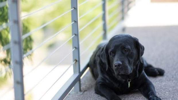 A petition calling for limiting the amount of time dogs can be left unattended on balconies in Toronto has garnered more than 700 signatures over the weekend.
