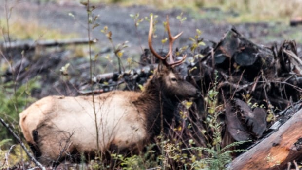 A Roosevelt elk seen on Vancouver Island. The Kwakwak'awakw First Nation is seeing major growth in the numbers of elk in the herd near their territory.