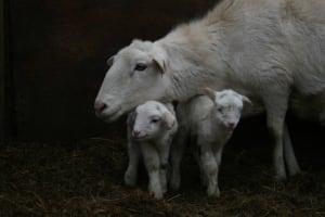NB-hi-lambs