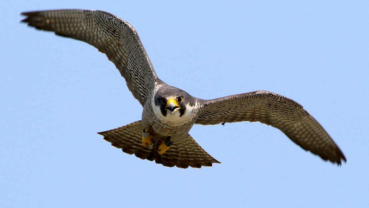 Winnipeg Born Peregrine Falcon Hurt In Dallas Hail Storm Manitoba Cbc News