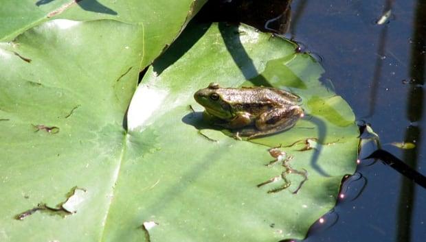 Mink Frog, Manitoba Herps Atlas