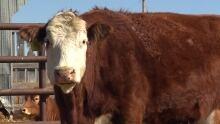 Alberta Cow Beef Farm Cattle