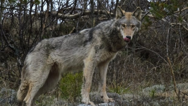 While Wednesday's wolf attack on a pet dog raises some concerns, biologist John Pisapio says there have been no indications so far the wolves are a danger to humans or leashed dogs.