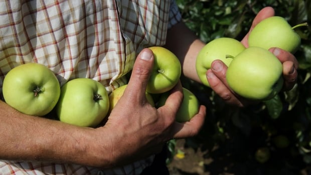 Warm weather caused apple trees to start budding earlier than normal, and the fruits are now in danger by the cold snap that followed.