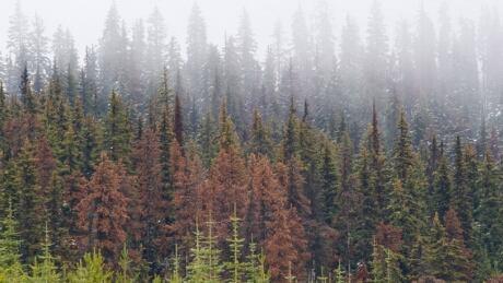 Pine beetle infestations decrease wildfire intensity, says study