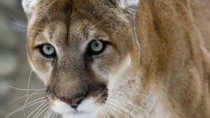 Cougars in the midst: Keep an eye open for big cats in Port Moody