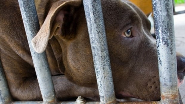 Montreal man who allegedly ordered pit bull to attack wife freed on ...
