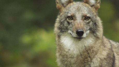 Brazen East Van coyotes make pet owners uneasy