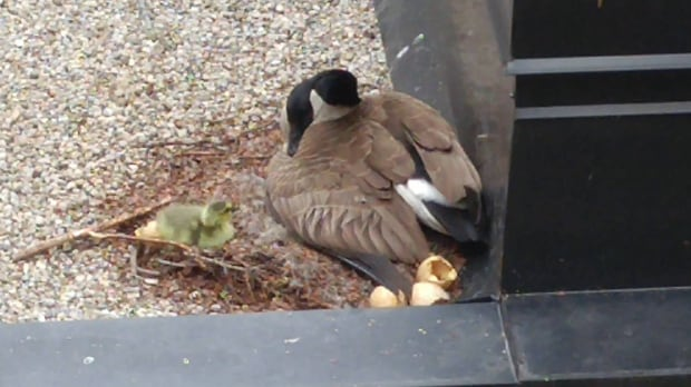 Goose cam University of Waterloo goslings