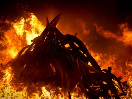 An estimated 105 tonnes of ivory and a tonne of rhino horn that was confiscated from smugglers and poachers were put into piles for burning.