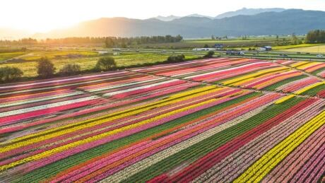 Ribbons of colour seen from high above Abbotsford Tulip Festival
